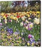 Tulips At Dallas Arboretum V33 Acrylic Print