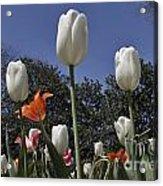 Tulips At Dallas Arboretum V36 Acrylic Print