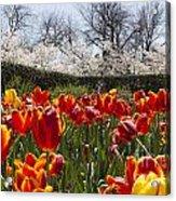 Tulips At Dallas Arboretum V39 Acrylic Print