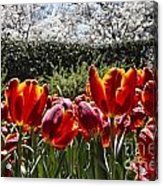Tulips At Dallas Arboretum V41 Acrylic Print