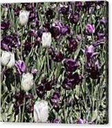 Tulips At Dallas Arboretum V43 Acrylic Print