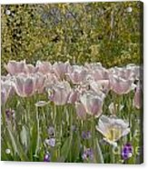 Tulips At Dallas Arboretum V45 Acrylic Print
