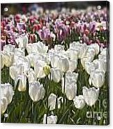 Tulips At Dallas Arboretum V52 Acrylic Print