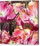 Tulips At Dallas Arboretum V58 Acrylic Print