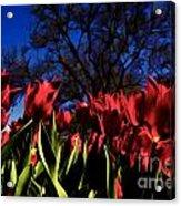 Tulips At Dallas Arboretum V63 Acrylic Print