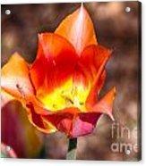 Tulips At Dallas Arboretum V64 Acrylic Print