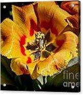 Tulips At Dallas Arboretum V67 Acrylic Print