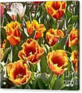 Tulips At Dallas Arboretum V71 Acrylic Print