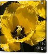 Tulips At Dallas Arboretum V76 Acrylic Print
