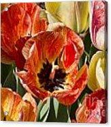 Tulips At Dallas Arboretum V81 Acrylic Print