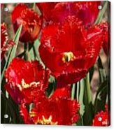 Tulips At Dallas Arboretum V83 Acrylic Print