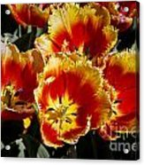 Tulips At Dallas Arboretum V84 Acrylic Print