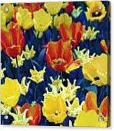 Tulips Blue Acrylic Print