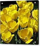 Tulips - Field With Love 17 Acrylic Print