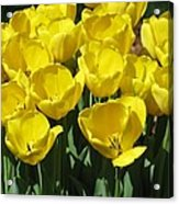 Tulips - Field With Love 18 Acrylic Print