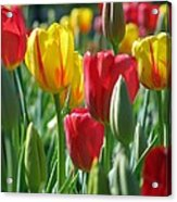 Tulips - Field With Love 22 Acrylic Print