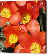 Tulips - Field With Love 25 Acrylic Print