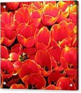 Tulips - Field With Love 28 Acrylic Print
