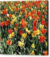 Tulips - Field With Love 50 Acrylic Print
