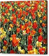 Tulips - Field With Love 51 Acrylic Print