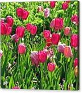 Tulips - Field With Love 54 Acrylic Print