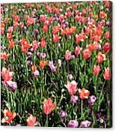 Tulips - Field With Love 55 Acrylic Print