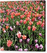 Tulips - Field With Love 56 Acrylic Print