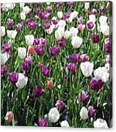 Tulips - Field With Love 60 Acrylic Print