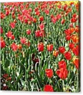 Tulips - Field With Love 61 Acrylic Print