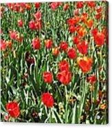 Tulips - Field With Love 62 Acrylic Print