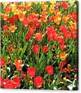 Tulips - Field With Love 68 Acrylic Print