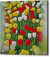 Tulips In A Field Acrylic Print