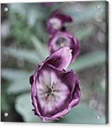 Tulips In A Garden Acrylic Print