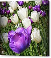 Tulips In Purple And White Acrylic Print