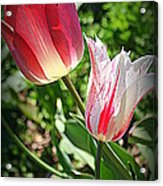 Tulips In Red And White Acrylic Print