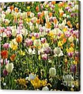 Tulips In Spring Acrylic Print