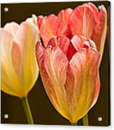 Tulips In The Light Acrylic Print
