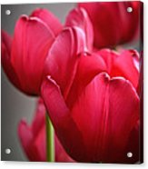 Tulips In The  Morning Light Acrylic Print