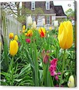 Tulips In Williamsburg Acrylic Print