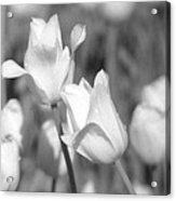 Tulips - Infrared 13 Acrylic Print