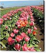 Tulips Mt Hood Acrylic Print