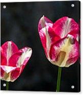 Tulips Of A Kind Acrylic Print