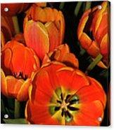 Tulips Of Fire Acrylic Print