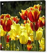 Tulips Of Germany Acrylic Print