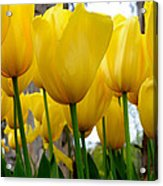Tulips Of Gold Acrylic Print by Sally Nevin