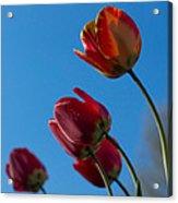 Tulips On Blue Acrylic Print