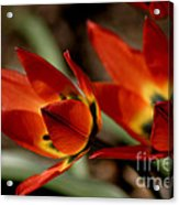 Tulips On Fire Acrylic Print
