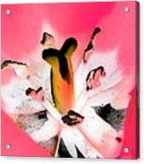 Tulips - Perfect Love - Photopower 2075 Acrylic Print