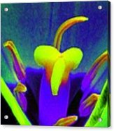 Tulips - Perfect Love - Photopower 2167 Acrylic Print
