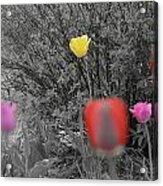 Tulips Reign Acrylic Print